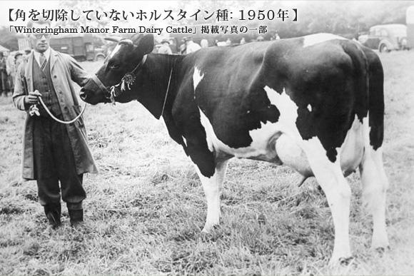 角を切除していないホルスタイン種: 1950年